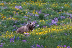 Grizzly Bear in wildflowers in Yellowstone National Park, Wyoming, Western USA_ USA
