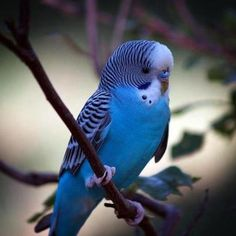 This is the color we want when we get our parakeet...can't think of an original name yet