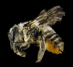 USGS Bee photos Small World, Bee Identification, Photography Set Up, Cool Insects, Pictured Rocks National Lakeshore, Bee Photo, Insect Art, Creature Concept, Save The Bees