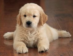 GOLDEN RETRIEVERS is among the top 10 dog breeds, click on the pic to see all breeds