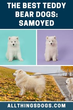 Known as one of the most distinguished and recognisable dog breeds in the world, the Samoyed is a gorgeous white teddy bear dog that will fit right in with your family. Caring and wise, this dog responds well to children who will harness this pup's playful side. Read our breed guide to learn more.  #teddybeardog #teddybeardogbreeds #samoyed Best Teddy Bear, White Teddy Bear, Teddy Bear Dog, Bear Dog Breed, Dog Breeds, Childhood Days, Samoyed, White Dogs, Cuddling