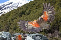 Kea Parrot, in flight, New Zealand Budgies, Parrots, Creature Picture, Great Walks, Rare Birds, Mundo Animal, Bird Pictures, Cockatoo, Colorful Birds