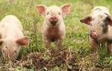 #swinie #krowy #pig #zwierzeta #rolnictwo #gospodarstwo #portal #wiadomosci