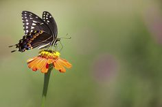 Award winning Fine Art Photographer Jo Ann Tomaselli is catching Butterflies with her camera!  See the details in this image @ http://jo-ann-tomaselli.artistwebsites.com/featured/single-swallowtail-palamedes-butterfly-jo-ann-tomaselli.html  #joanntomaselli #joanntomaselliphotography #naturephotography