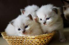 #ragdoll #kitten #maru #cat #cute