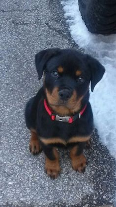 ROTTIE!! I want another one sooo freaking bad