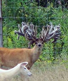 Freak Show Bucks: A Hard Look at Breeding For Antlers You are in the right place about Mammals print Interesting Animals, Unusual Animals, Majestic Animals, Rare Animals, Animals Beautiful, Animals And Pets, Funny Animals, Whitetail Deer Pictures, Big Deer