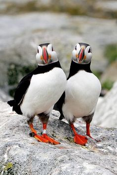 Puffins Mate for life. Even when the male leaves for the winter, he will always return home to the same female puffin. So Cuteeee