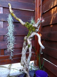 bois flotté tillandsia nature art