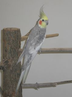 Cockatiel - Fallow Cockatiel, Parrots, Lily, Club, Sweet, Animals, Candy, Animaux, Orchids
