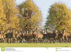 A Group Of Male And Female Deers During The Rutting Season Stock Image - Image of green, animales: 104697529