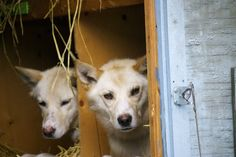 Sled dogs wait in cozy, straw-lined boxes for their turn to start Iditarod 2015. Erin Kirkland/AKontheGO
