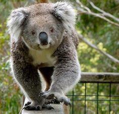 Yesssss... I'm the big koala... So back up!