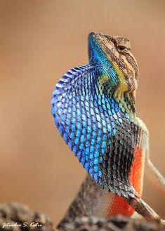 The Fan-throated #lizard, Sitana ponticeriana (Agamidae) #blue #reptile