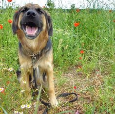 Hi I'm Sunny the friendly dog. I like flowers .   #Sunnythedog #bordercolliesofinstagram#goldenretrieversofinstagram #bordercollie #goldenretriever #goldenborder#bordercolliemix #goldenretrieverpuppy #puppy #puppiesofinstagram #goldenborderretriever#ilovemydog #goldenbordercollie #bestwoof