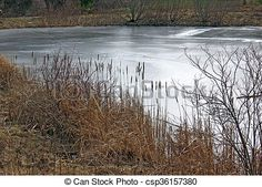Bulrushes at the edge of an ice-covered pond.