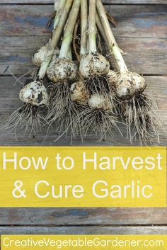 Garlic is such an easy crop to grow! Here's how to harvest and cure it when it's ready.