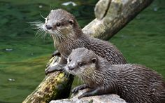 https://flic.kr/p/YzcmPU | Small-clawed Otter (Aonyx cinerea) | The Small-clawed Otter (Aonyx cinerea) is a semiaquatic and social living carnivore mammal and widespread in Southeast Asia from southern China and southern India to the islands of Borneo and Sumatra in Indonesia (Mammalia: Carnivora: Mustelidae).  Heidelberg Zoological Garden