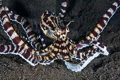60. Mimic octopus: 'Scientists diving in a river mouth off northern Sulawesi in 1998 were astonished to discover this new species: an eight-legged impersonator that takes the art of disguise to levels previously unknown in the animal kingdom.' Read more in 100 Bizarre Animals www.bradtguides.com Underwater Creatures, Ocean Creatures, Mimic Octopus, Bizarre Animals, The Mimic, Ocean Depth, Life Under The Sea, Beneath The Sea, Underwater Photography