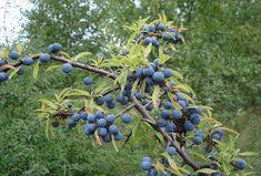 Natural Remedies, Blueberry, Herbalism, Herbs, Fruit, Nature, Plants, Diy, Gardening