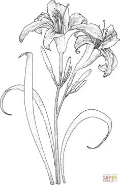 Flowers Coloring pages. Select from 31983 printable Coloring pages of cartoons, animals, nature, Bible and many more. Flower Sketches, Art Sketches, Art Drawings, Motifs Art Nouveau, Plant Drawing, Free Printable Coloring Pages, Day Lilies, Silk Painting, Botanical Illustration