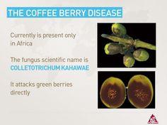 "The Coffee Berry Disease ""Colletotrichum Kahawae"" Scientific name"