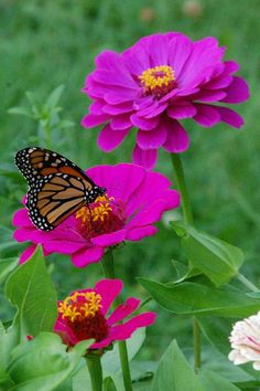 Flowers for butterflies - Planting Zinnias For Butterflies – Flowers for butterflies Flowers For Butterflies, Butterfly Plants, Flowers Nature, Beautiful Butterflies, Amazing Flowers, Wild Flowers, Beautiful Flowers, Flowers Garden, Purple Flowers