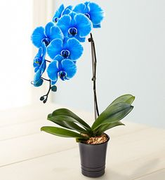 My Mom just gave me one of these -- it's very eye-catching on the middle of my dining room table. Beautiful Blue Phalaenopsis Orchid