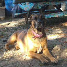 My Bella girl! American Bulldog beauty!