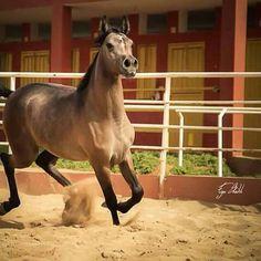 #داريا المربط الليبي للخيول العربية الأصيلة