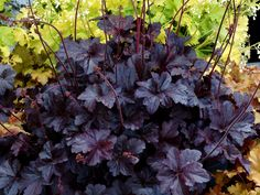 Make a statement in your garden with the dazzling foliage color, texture and shapes Heuchera perennials provide. Shop for your plants from Bluestone Perennials. Coral Bells Plant, Coral Bells Heuchera, White Flower Farm, Black Flowers, Cream Flowers, Black Leaves, Cut Flowers, Shade Perennials, Shade Plants