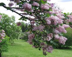 Lilac tree, every other one lining driveway