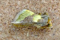 Burnished  Brass, Wimborne, June 2009. (Don't worry, it's only pretending to be dead!)