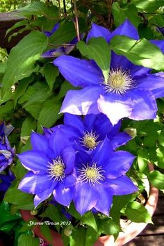 Photo of Clematis (Clematis 'Kingfisher') uploaded by Sharon