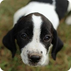 Oreo - URGENT! PETS AT THIS SHELTER ARE HELD FOR ONLY A SHORT AMOUNT OF TIME - English Springer Spaniel/Chihuahua mix - male - puppy - Conroe, TX - http://www.adoptapet.com/pet/9595190-conroe-texas-english-springer-spaniel-mix www.facebook.com/mcastx www.mcaspets.org