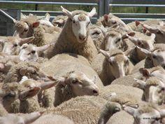 L'industrie ovine est bonne pour la montagne ? Fake news !
