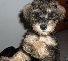 Schnoodle. This looks almost like Scouty as a puppy!