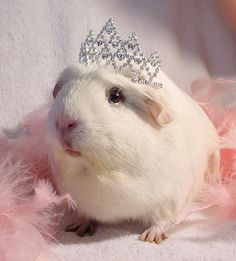 The Guinea Pig Daily: Princess Piggie Cute Little Animals, Cute Funny Animals, Guinea Pig Costumes, Pig Pics, Baby Guinea Pigs, Guinea Pig Care, Guniea Pig, Cute Hamsters, Chinchillas