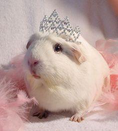 Guinea Pig Princess