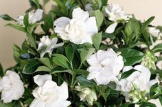 Indoor Container Gardening Gardenia: Grow These Attractive Flowering Plants Indoors With the Right Care - These high-maintenance plants can be hard to keep alive in the house, but they are loved for their intoxicating fragrance. Gardenia Care, Gardenia Bush, White Gardenia, Gardenias, Gardenia Tattoo, Gardenia Indoor, Inside Plants, Beautiful Flowers Garden, Trees Beautiful