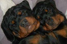 Cutest #rottweiler #puppies! Love their look and head tilt <3