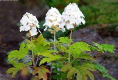 Tammihortensia, Hydrangea quercifolia - tammihortensia Hydrangea quercifolia tammenlehtihortensia hortensia kukinnot kukat valkoinen lehdet lehtimuoto puutarha pensas