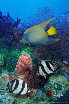 #Caribbean Sea off Turks and Caicos Islands. Queen #angelfish and Banded #Butterflyfish