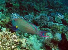 Parrot fish on Great Barrier Reef