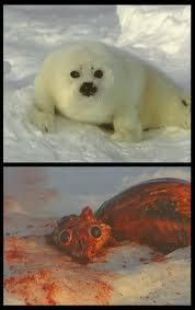 Poor seals! Although this is done once a year for 1 to 2 months, lots of them are killed simply for their fur!!