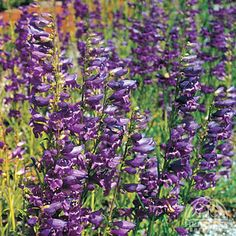 Penstemon 'Prairie Dusk' - Beard-Tongue...Planted: June 2014; Bought: Costco; Location: Middle Garden; Color: Purple; Blooms: June to July; Pruning: Cut back in spring
