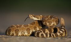 Poisonous snakes are common when you're working on the homestead. Here's how to deal with them the right way (and the wrong way). Northern Pacific Rattlesnake, Snake Story, Types Of Snake, Poisonous Snakes, Coral Snake, The Venom, Snake Venom, Urban Survival, Outdoor Survival
