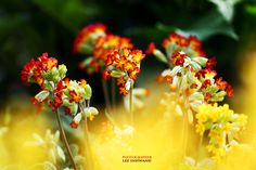 Cowslip by LEE INHWAN on 500px