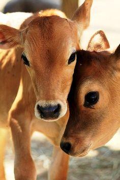 Calves vaquitas terneros ojazos vacas cow baby
