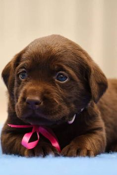 Chocolate labrador puppies are delightful dogs that make amazing pet dogs. Apart from being sweet, these labradors are faithful and loving animals which have characters well suited for all age groups, including very little ones. Chocolate Lab Puppies, Chocolate Labrador Retriever, Retriever Puppy, Chocolate Labs, Cute Dogs And Puppies, Pet Dogs, Doggies, Labrador Golden, Cute Puppy Photos